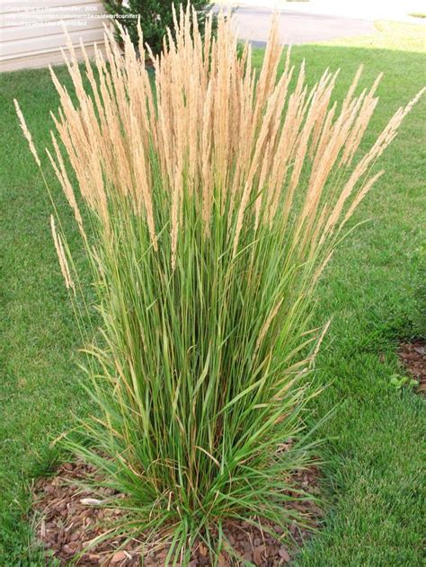 best 25 ornamental grass landscape ideas on pinterest ornamental grasses landscape grasses