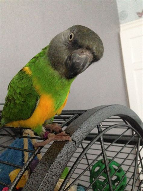 senegal parrot with cage tame manchester greater