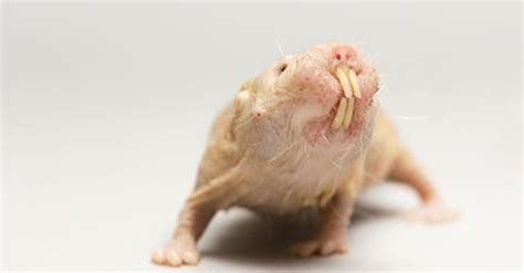 Naked Mole Rat Meme - 19 best images about and this one henry on pinterest