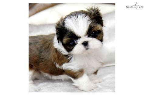 shih tzu puppies for sale in va shih tzu puppy for sale near northern panhandle west virginia 398e52b3 cc01