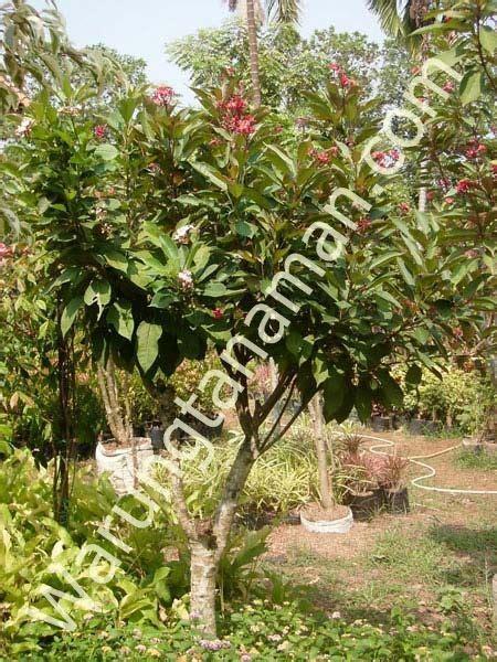 pohon batavia tanaman hiaskolam minimalissaungpagar