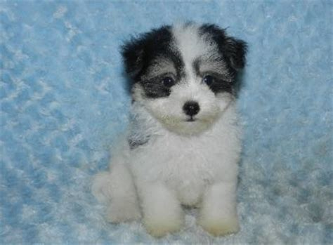 havanese breeders chicago havanese puppies for sale indianapolis and south bend indiana family puppies