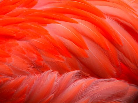 flamingo feathers wallpaper flamingo feathers closeup of a flamingo s feathers at
