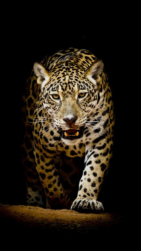 leopard  hd wallpapers hd wallpapers id