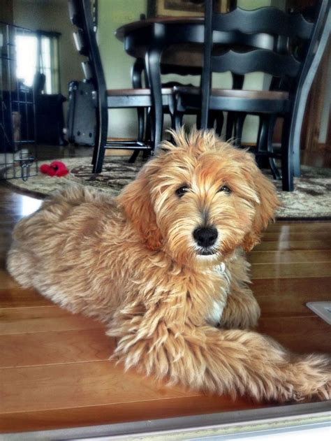 goldendoodle puppy care tips the 25 best goldendoodle grooming ideas on