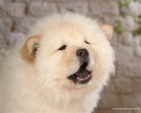 chow puppy chow chow puppy wallpaper puppies wallpaper 13936747 fanpop