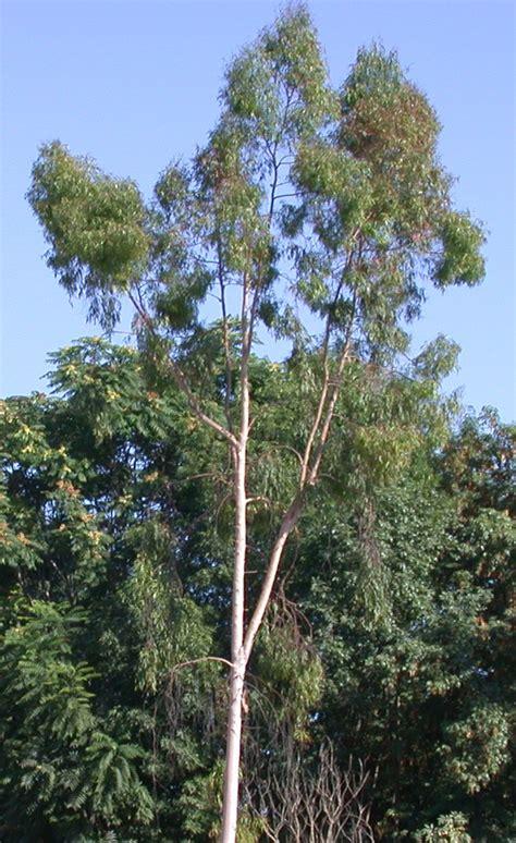 eucalyptus trees sepulvedabasinwildlife org shrubs