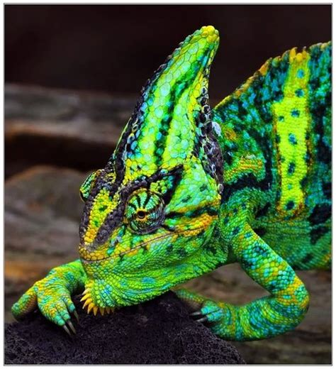 veiled chameleon colors 53 best images about cameleon on