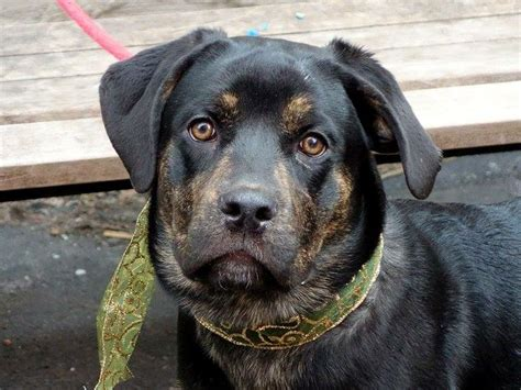 brindle rottweiler pin by lawyermarketer on will you be my forever home