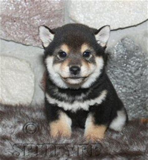 black shiba inu puppies shiba inu shiba inu puppies and puppys on