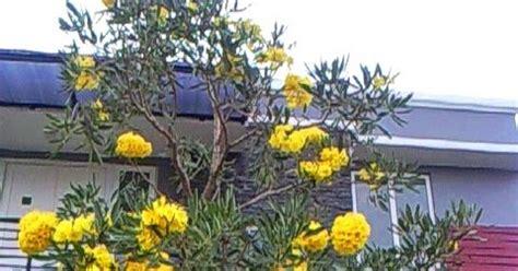 Bibit Bunga Di Jogja bibit tanaman murah jual pohon tabebuya di yogyakarta