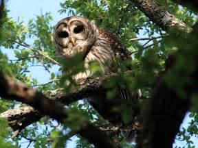 Texas Barn Owls Dallas Trinity Trails Barred Owls Troubadours Of The Trees