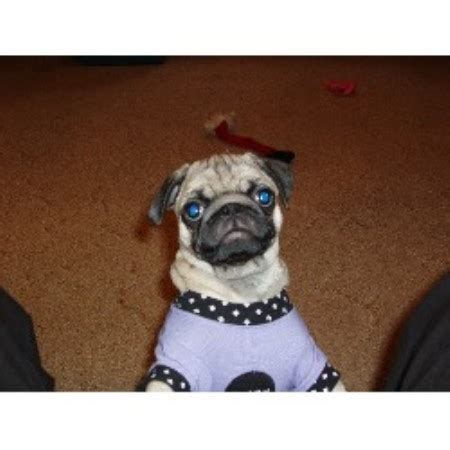 pugs wisconsin penokee pugs pug breeder in high bridge wisconsin listing id 10993