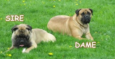bullmastiff puppies for sale in michigan akc bullmastiff puppies for sale adoption from burton michigan genesee adpost