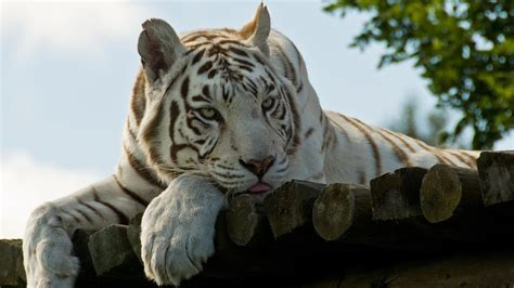 physical characteristics white tiger