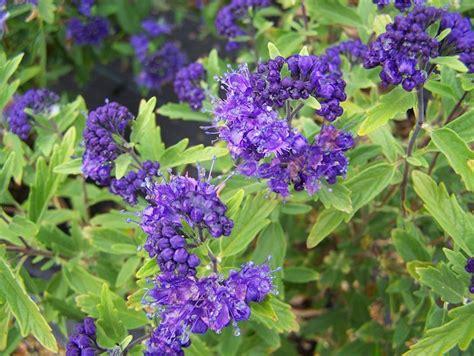 arbusto con fiori violacei caryopteris piante da giardino caratteristiche