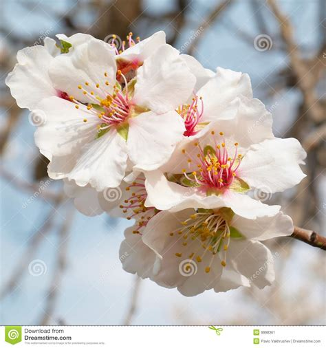 fiori di colore rosa fiori di colore rosa dell albero di mandorla immagine