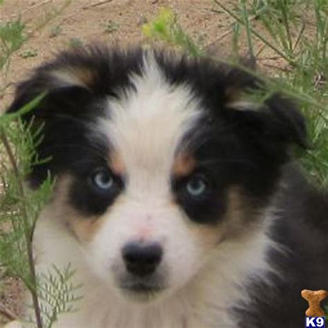 husky puppies for sale in oregon husky and corgi mix puppies for sale oregon breeds picture