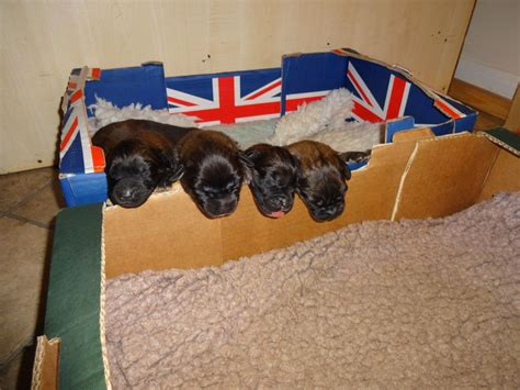 leonberger puppies cost akamai leonberger puppies 8 weeks 22 12 14 doncaster south pets4homes