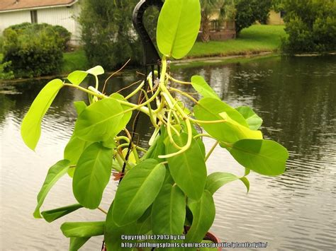 Tanaman Hias Philo Lemon Philodendron Lemon aroids forum looking for help with philodendron identification garden org