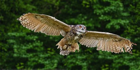 Home Decor Indian Blogs stunning european eagle owl in flight photograph by