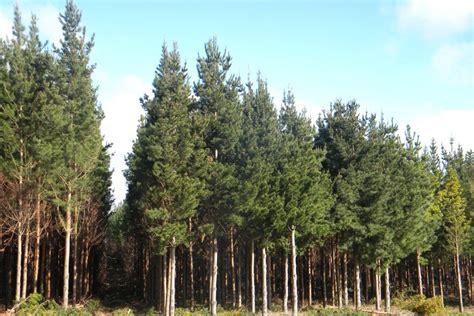 pine plantation near mount gambier abc news australian