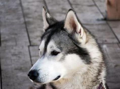 alaskan husky alaskan husky pics dogbreedworld
