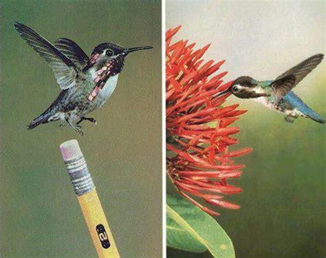bee hummingbird smallest bird unusual creatures