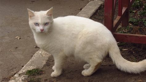 white cat new white cat is afraid of me