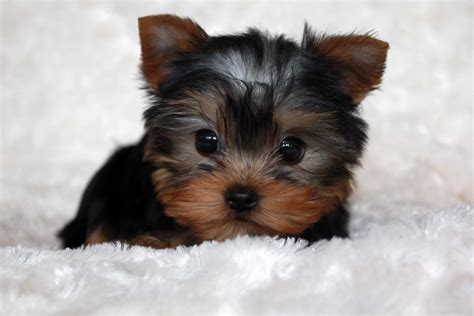 miniature teacup yorkies micro pocket yorkies for sale breeds picture