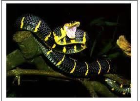 Tods Coklat Hitam sikkahoder mengenal jenis ular di indonesia