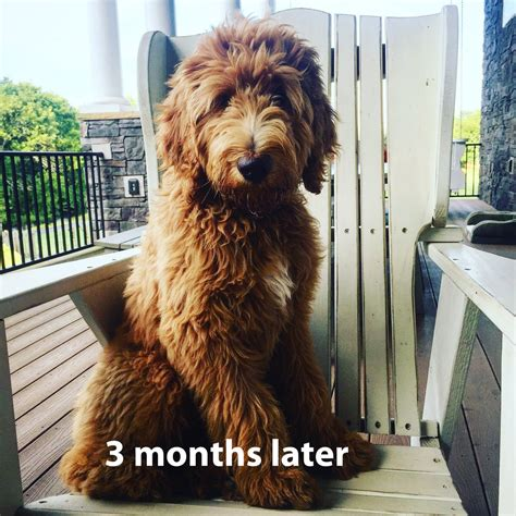 doodle puppy reviews reviews read testimonials from crockett doodles puppy owners