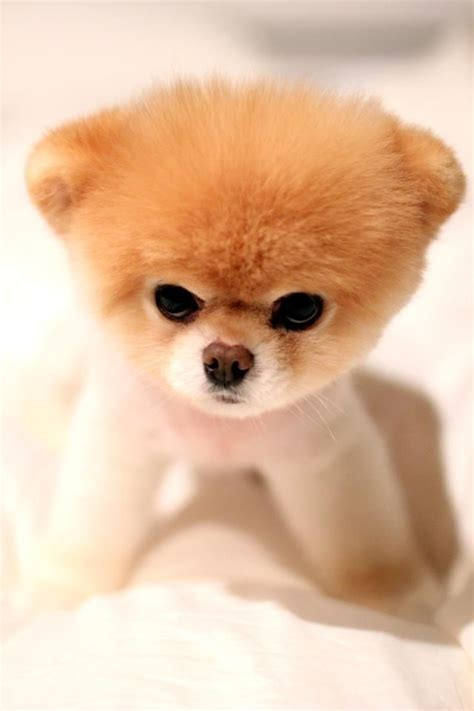 cute dog products boo doesn t use any hair products pets animals on