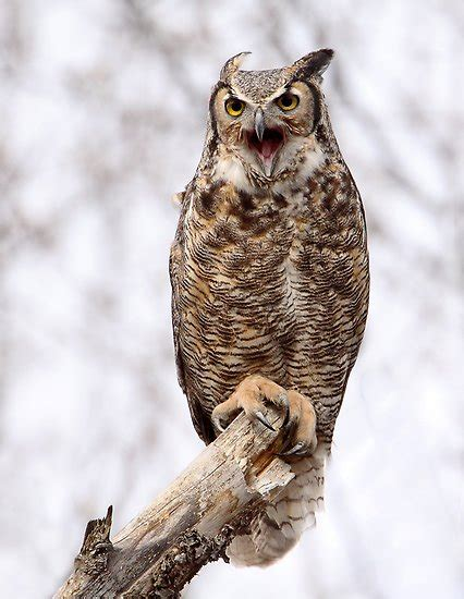 quot distress call great horned owl quot by gary fairhead