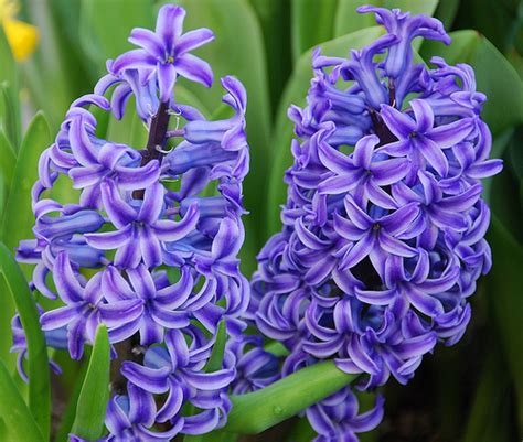 hyacinth flower hyacinth flower pictures pink purple white hyacinth flowers