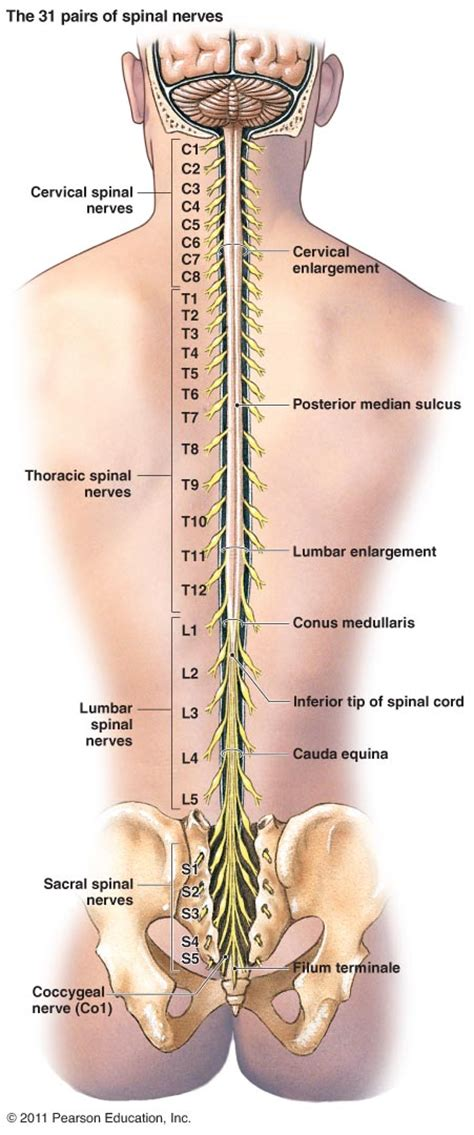 diagram of spine and nerves brain and spinal cord diagram car interior design