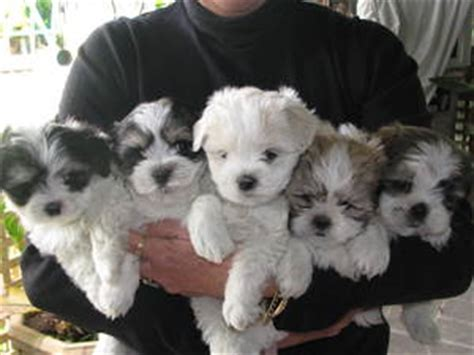 shih tzu cross maltese puppies for sale maltese cross shih tzu for sale brisbane breeds picture