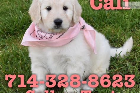 goldendoodle puppy orange county cali goldendoodle puppy for sale near orange county