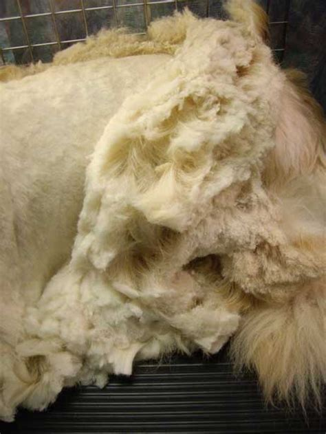 How To Trim Matted Cat Hair by Faqs About Grooming