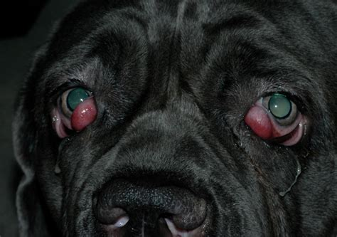 puppy discharge after cherry eye in dogs causes is it contagious home treatment surgery cost pictures