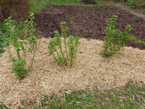 sträucher garten pflegeleicht beerenstr 228 ucher pflanzen beerenstr ucher pflanzen das