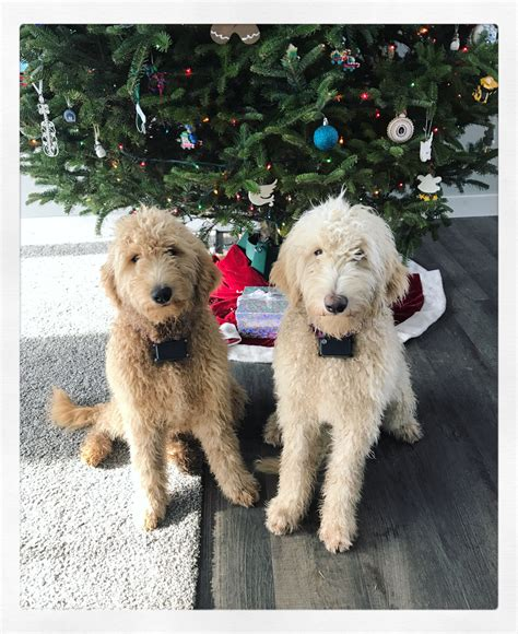 doodle puppies new york posts pipers puppies of new york labradoodle