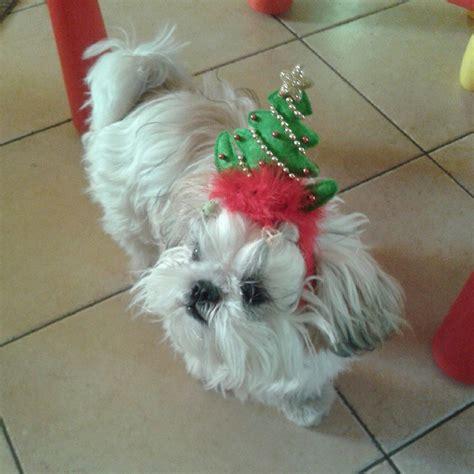shih tzu won t sleep at 25 pups who could not be more ready to meet santa barkpost