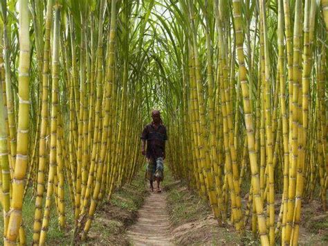 the skinny on evaporated cane sugar science of skinny sugar cane field cus pinterest canes fields and