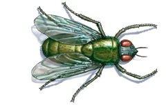 blo fly murda info center blow flies and bottle flies terminix