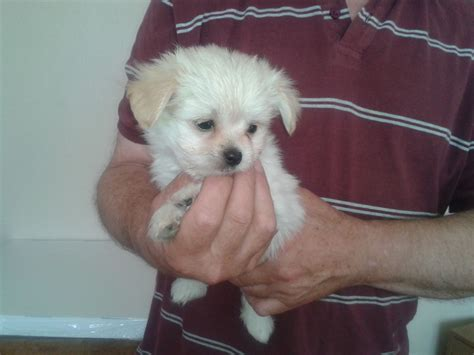 chihuahua maltese puppies teacup maltese puppies for sale quotes