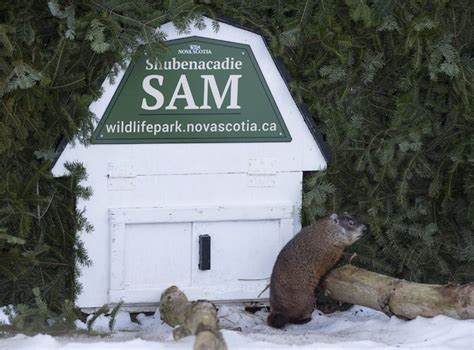 groundhog day in canada ontario s wiarton willie contradicts scotia groundhog
