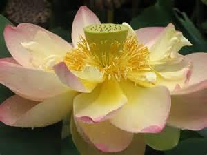 Lotus Flower National Symbol Floral Emblem