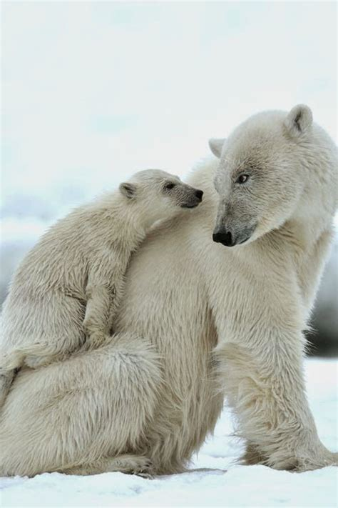 1000 Images About Arctic Animals - 1000 images about arctic animals on baby