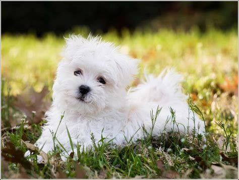 best house dogs that don t shed small dogs that don t shed dog pet photos gallery